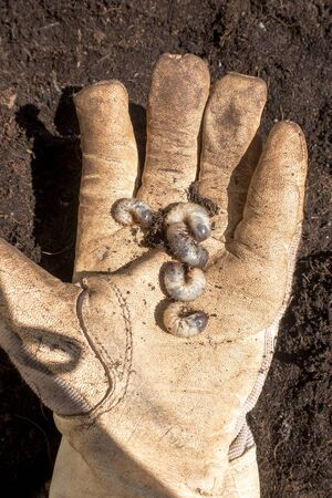 Several Grubs (prob. rose chafer, Cetoniinae) on hand with garden glove Standard-Bild