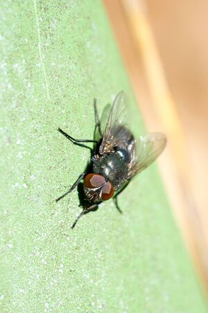 Closeup of a green fly (maybe green bottle fly, Lucilia  spec.)