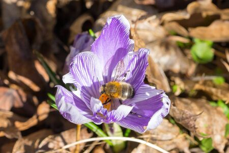Closeup of a wild bee (prob. hairy-footed flower bee, Anthophora plumipes) on violet crocus flower