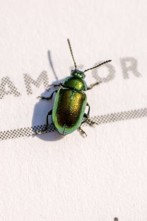 Closeup of a small green beetle (prob. green dock leaf beetle, Gastrophysa viridula) on the page of a book