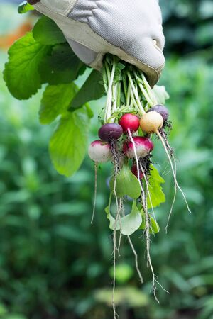 Hand with garden glove holding a bunch of colorful small radishes