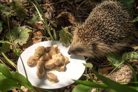European hedgehog (Erinaceus europaeus) at a plate with cat food in a garden Standard-Bild