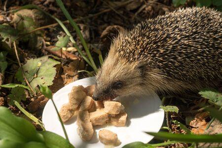 European hedgehog (Erinaceus europaeus) eating cat food on a plate in a garden