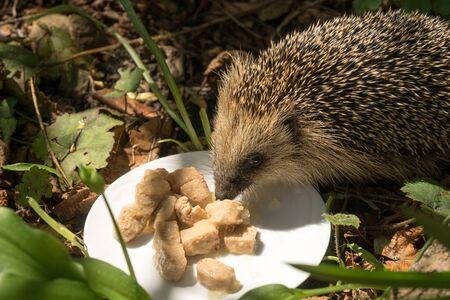 European hedgehog (Erinaceus europaeus) smelling cat food on a plate in a garden Standard-Bild