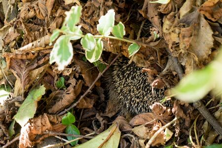 European hedgehog (Erinaceus europaeus) sleeping inside its nest made of dry leaves