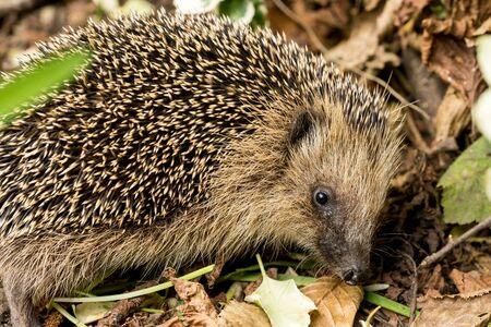 European hedgehog (Erinaceus europaeus) in a garden