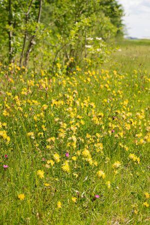 Common kidneyvetch flowers (Anthyllis vulneraria) on nutrient-poor grassland in Haar near Munich, Germany