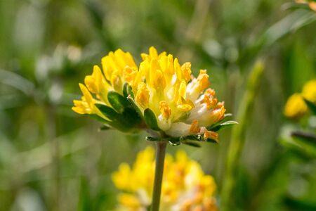 Closeup of common kidneyvetch flower (Anthyllis vulneraria)  Standard-Bild