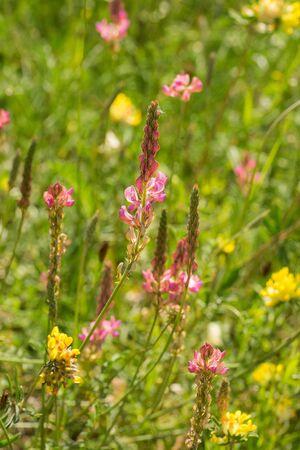 Closeup of common sainfoin flowers (Onobrychis viciifolia)