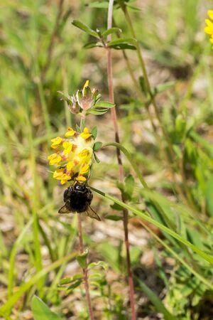 Closeup of a red-tailed bumblebee (prob. Bombus lapidarius) on common kidneyvetch flower (Anthyllis vulneraria)