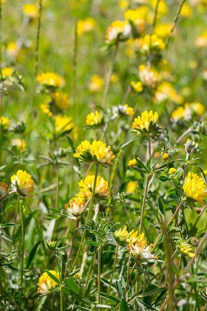 Common kidneyvetch flowers (Anthyllis vulneraria) on nutrient-poor grassland Foto de archivo