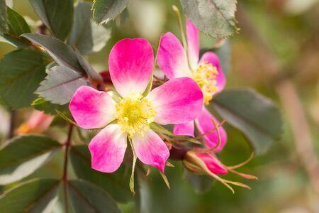 Closeup of pink wild rose flowers Standard-Bild