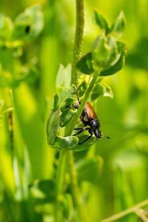 Closeup of a Garden Chafer beetle (Phyllopertha horticola) in a meadow