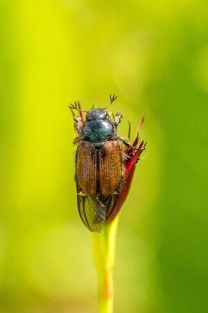 Closeup of a Garden Chafer beetle (Phyllopertha horticola) in the green Standard-Bild