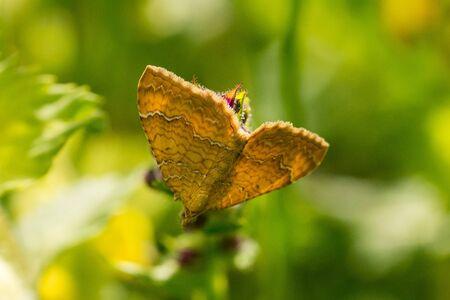 Closeup of a Yellow Shell butterfly (Camptogramma bilineata) Standard-Bild