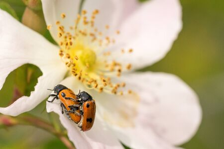 Closeup of Four spotted leaf beetles (Clytra quadripunctata) mating on a wild rose