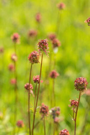 Closeup of Small Burnet flowers (Sanguisorba minor)