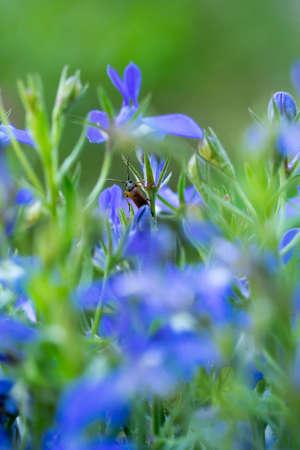 Closeup of a longhorn beetle (Alosterna tabacicolor) in blue garden lobelia flowers Standard-Bild