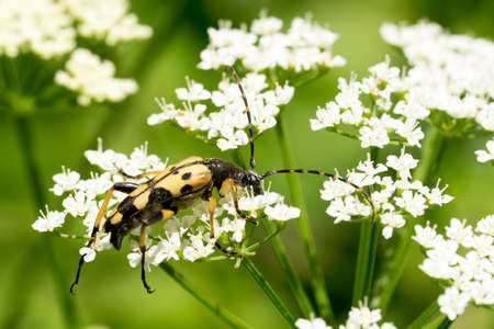 Closeup of a spotted longhorn beetle (Rutpela maculata) on a white flowering umbel