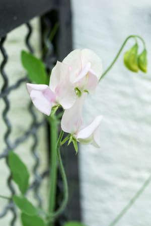 Closeup of Sweet pea flowers (Lathyrus odoratus) on a garden fence