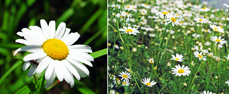 daisie: Camomile collage of two photos Stock Photo