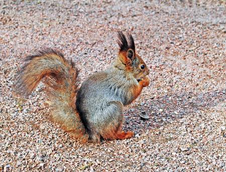 peterhof: Squirrel in the park, Peterhof Stock Photo