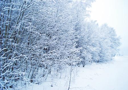 hoarfrost: winter trees in hoarfrost background Stock Photo