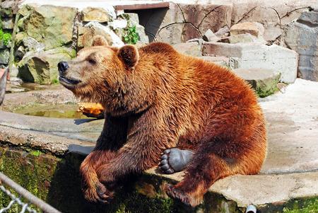 oso pardo en el zoológico de Kaliningrado, Rusia