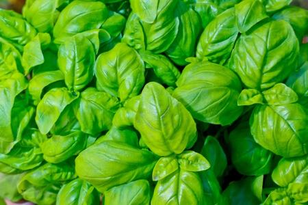 foglie: foglie di basilico fresco