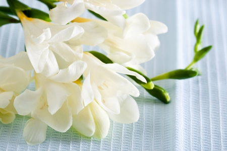 White freesia flower on blue background. Closeup.