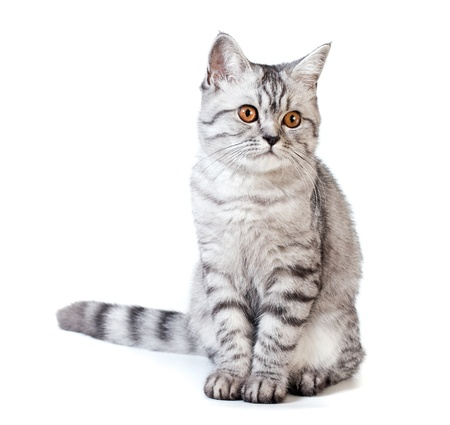 Silver scottish kitten on the white background  photo