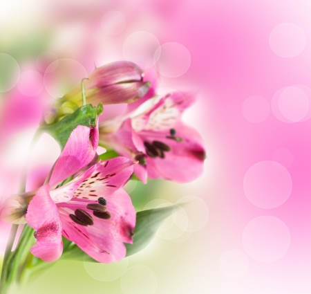 Pink alstroemeria on an abstract background photo