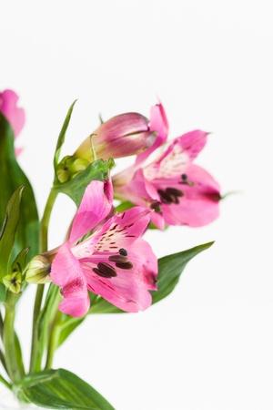 Flower pink Alstroemeria on a white background photo