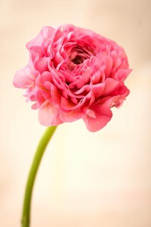 Beautiful flower pink Ranunculus on a light background photo