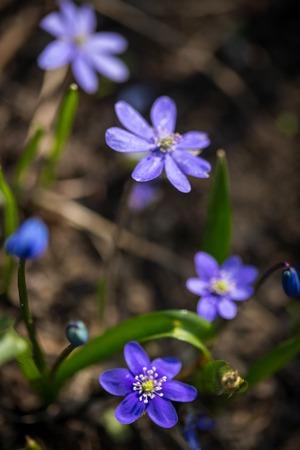 liverwort: Flowers of Hepatica Nobilis. (liverwort,  pennywort)