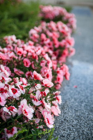 Flowers of pink carnations on a city street photo