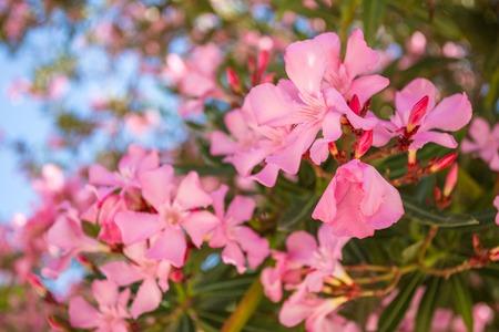 Oleander rose bay flower. Nerium oleander L. photo