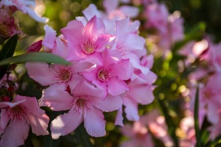nerium: Oleander rose bay flower. Nerium oleander L.