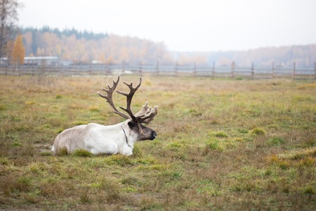 Reindeer in the paddock on the farm photo