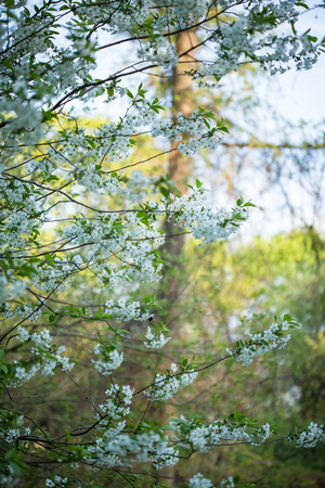 colorized: Tree brunch with white spring blossoms. Colorized photo.