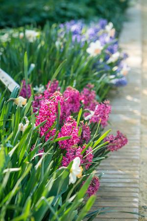 hyacinths: Purple hyacinths flowers in the spring garden