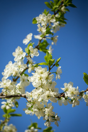 sky brunch: Tree brunch with white spring blossoms and blue sky. Stock Photo
