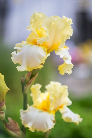 bearded iris: Close up of Yellow Bearded Iris Flowers