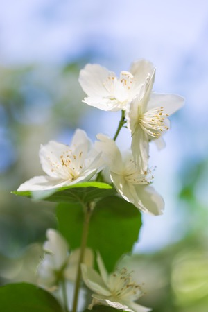 philadelphus: Philadelphus - Mock Oranges, jasmine spring flowers in the garden. Stock Photo