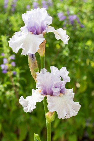 bearded iris: Close up of light lilac Bearded Iris Flowers Stock Photo