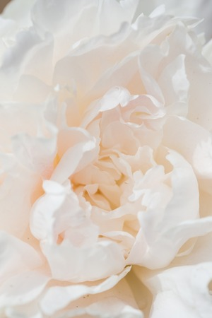 rosas blancas: Closeup of a Beautiful White Peony flower