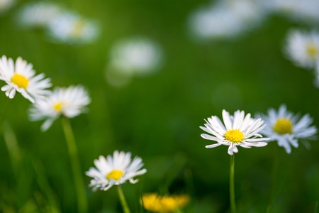 marguerites: Summer meadow with marguerites and green grass