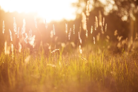 golden grass field at sunset. selective focus