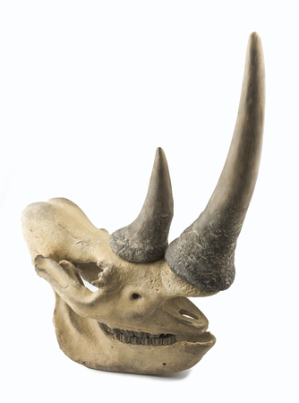 poach: Decorative rhinoceros skull on a white background Stock Photo