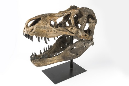 rex: The head of a dinosaur Tyrannosaurus Rex on a white background